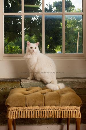 #chattanoogacats #catportraits #catphotographer #petportraits #chattanoogapetphotographer